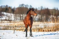 Fjärdhäst i vinter Arkivfoto