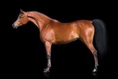 Fjärdhäst som isoleras på svart royaltyfria bilder