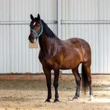 Fjärdhäst som lär att arbeta på manege Royaltyfria Foton