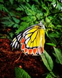 Fjäril 🦋ðŸ•, royaltyfria bilder