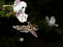Fjäril (Сосуtius antaeus) arkivfoton