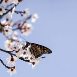 fjäril Arkivfoton