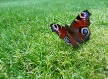 Fjäril (Aglais io) Arkivbild