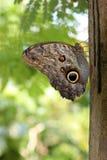 Fjäril anhydrous Kunskap av naturen Till och med ögonen av naturen royaltyfri bild