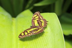 Fjäril anhydrous Kunskap av naturen Till och med ögonen av naturen arkivbilder