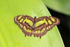 Fjäril anhydrous Kunskap av naturen Till och med ögonen av naturen royaltyfria foton