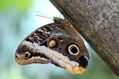 Fjäril anhydrous Kunskap av naturen Till och med ögonen av naturen royaltyfria bilder