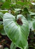 Fjäril anhydrous Kunskap av naturen Till och med ögonen av naturen royaltyfri foto