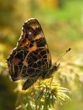 Fjäril - Araschnia levana f arkivfoto