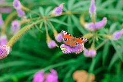 Fjäril av påfågelögat på blomman royaltyfria foton