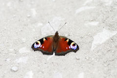 fjäril av påfågelögonsammanträde på vägen som fördelar dess vingar arkivbilder