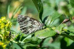 Fjäril Bariatrica på ett grönt blad Arkivbild