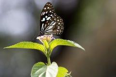 Fjäril - blå tiger Royaltyfria Foton