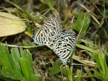 Fjäril - blyertsblått, sebrablått, Leptotes plinius Royaltyfri Foto