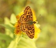 Fjäril (Boloria diameter) arkivbild