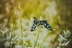 Fjäril butterfiles, bakgrund Royaltyfri Bild