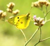 Fjäril (Colias erate) arkivbild