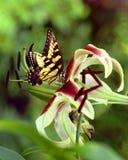 fjäril daylily Arkivbild