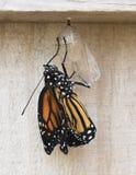 fjäril dykt upp monark nytt arkivfoton