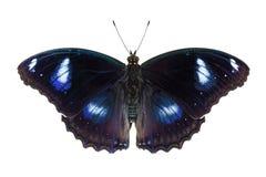 fjäril eggfly utmärkt fotografering för bildbyråer