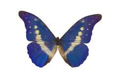 fjäril för 3 blue Fotografering för Bildbyråer