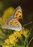 Fjäril för amerikansk koppar Royaltyfri Foto