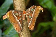 Fjäril för Attacus kartbokmal Arkivfoton