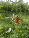 Fjäril för bra morgon i en scharlakansröd blomma Royaltyfria Bilder