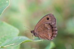 Fjäril för dryad (Minois dryas) Arkivbild