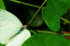Fjäril för kålvit Royaltyfria Bilder