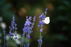 Fjäril för kålvit på lavendel Arkivbild