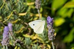 Fjäril för kålvit på lavendelblommor Arkivfoto