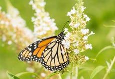 Fjäril för kvinnlig monark på en vita Butterflybush arkivfoto