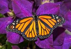 fjäril för kvinnlig monark på ett djupt - purpurfärgad klematis royaltyfria foton