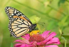 Fjäril för kvinnlig monark på Zinnia royaltyfri fotografi