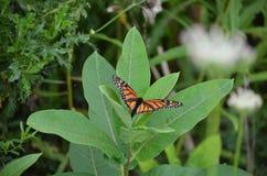 Fjäril för kvinnlig monark som lägger ägget royaltyfri foto
