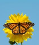Fjäril för kvinnlig monark som matar på en lös solros fotografering för bildbyråer