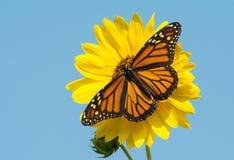 Fjäril för kvinnlig monark som matar på en ljus gul lös solros royaltyfri foto
