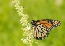Fjäril för kvinnlig monark som matar på vit fjärilsBush fllower royaltyfria foton