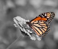 Fjäril för kvinnlig monark som matar på Zinnia royaltyfri fotografi
