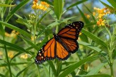 Fjäril för manlig monark arkivbild