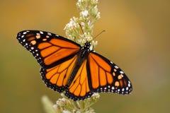 Fjäril för manlig monark i sommarträdgård arkivbild