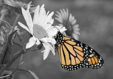 Fjäril för manlig monark i sommarträdgård arkivfoton