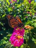 Fjäril för manlig monark på rosa blommor arkivfoton