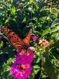 Fjäril för manlig monark på rosa blommor fotografering för bildbyråer