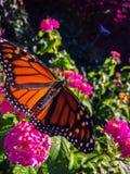 Fjäril för manlig monark på rosa blommor royaltyfria foton