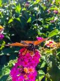 Fjäril för manlig monark på rosa blommor royaltyfri foto