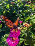Fjäril för manlig monark på rosa blommor arkivbild