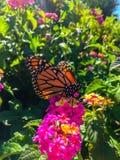 Fjäril för manlig monark på rosa blommor arkivfoto