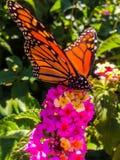 Fjäril för manlig monark på rosa blommor arkivbilder